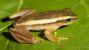 New Genus of Tree Frog Discovered