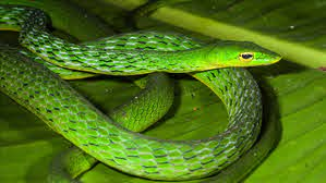 Discovery of New Vine Snake Species